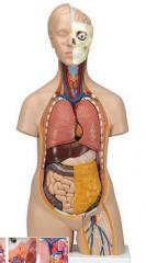 standard-torso