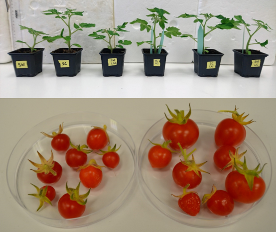 Growth promotion of tomato plants