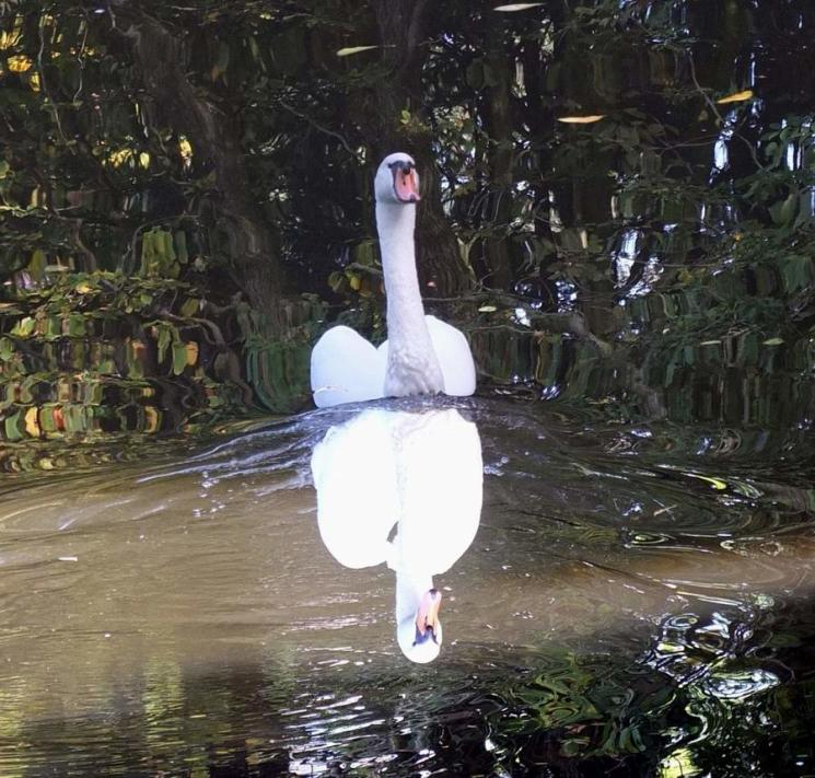 The mirrored swan