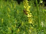 Meliolotus Biene Sabine