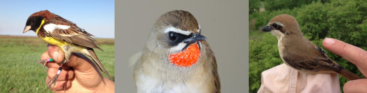 The migration routes of Yellow-breasted Bunting, Rubythroat and Brown Shrike are studied using geolocators (attached to the backs of the birds).