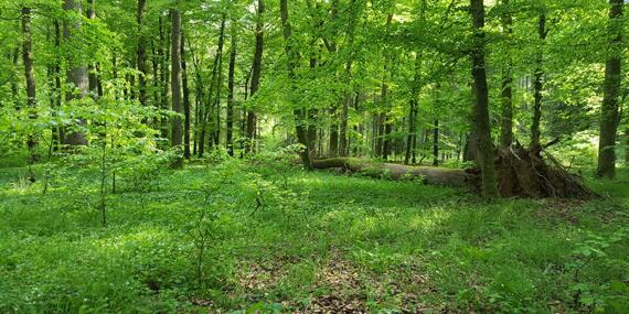 The species-rich beech forests in the newly designated wilderness areas of the Egge Vorberge are already characterized by a very natural forest structure.