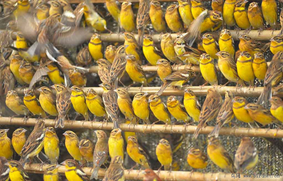Illegally trapped Yellow-breasted bunting in China