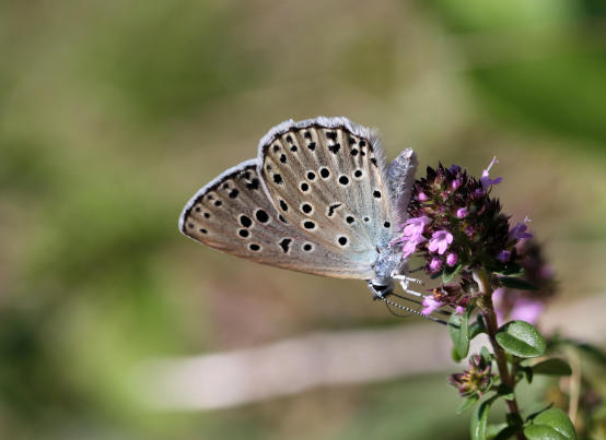 Maculinea arion (Large blue)
