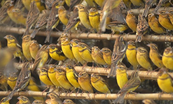 Illegally caught yellow-breasted buntings in China<address>&copy; Huang Qiusheng</address>