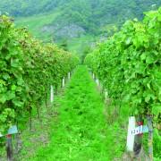 Pflanzen wie diese Weinreben werden durch eine Behandlung mit Chitosan widerstandsfähiger und wachsen üppiger (linke Reihe unbehandelt, rechts behandelt).<address>&copy; David Nannen</address>