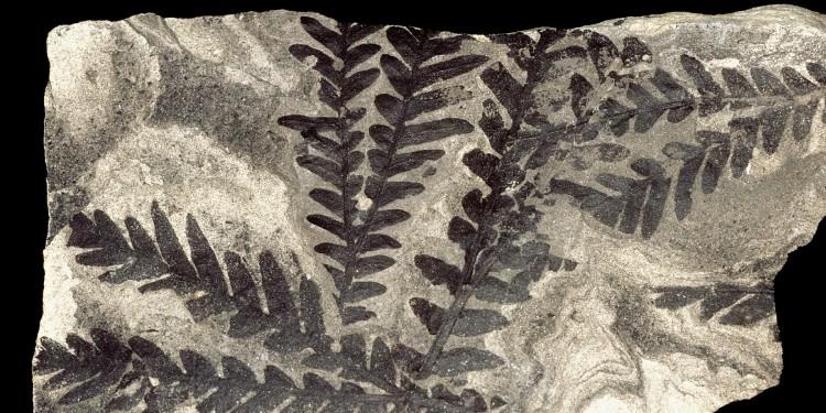 Fossil der Beblätterung einer ausgestorbenen Gruppe von Samenpflanzen aus der Antarktis (dicroidium odontopteroides), rund 230 Millionen Jahre alt.<address>&copy; Hans Kerp/WWU</address>