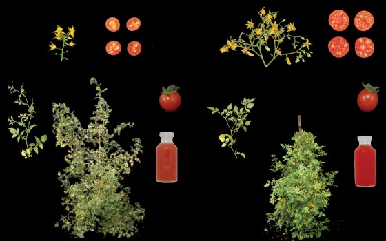 The new cultivated tomato (right) has a variety of domestication features which distinguish it from the wild plant (left). The details (clockwise): It produces more flowers and therefore bears more fruit, the fruit is larger and oval in shape instead of round. The cultivated tomato contains more lycopene, which is noticeable through a deeper red colouring of the juice, and the plant has a more compact growth.<address>© Agustin Zsögön/Nature Biotechnology</address>