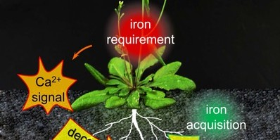 Plants adapt the iron acquisition in their roots to their current requirements. Iron deficiency triggers calcium signals. This information is passed on, activating the effector protein FIT.<address>© HHU / Tzvetina Brumbarova</address>