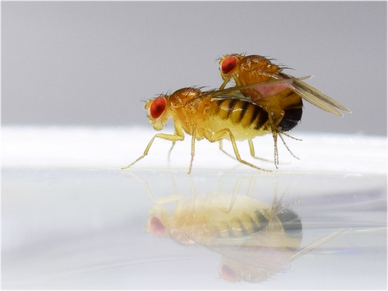 Fruit flies of the species drosophila melanogaster during mating<address>© Mareike Koppik</address>