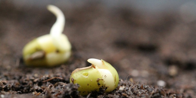 Germinating mung bean seeds<address>© Bettina Richter</address>
