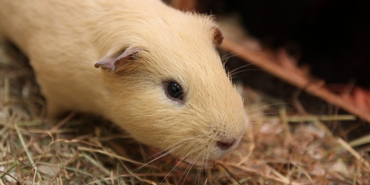 Male guinea pigs are still able to adapt their hormone systems to changes in their social environment in adulthood.<address>© Department of Behavioural Biology / Alexandra Mutwill</address>