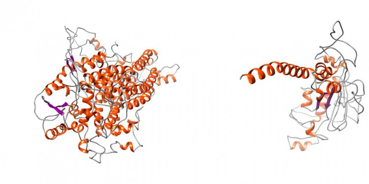 Comparison between the normal TMEM16A protein and the mutated variant showing the truncating effect that leads to the loss of vast portions of the protein. This leads to severe structural alterations.<address>© J. Park et al. 2020/ Journal of Medical Genetics</address>