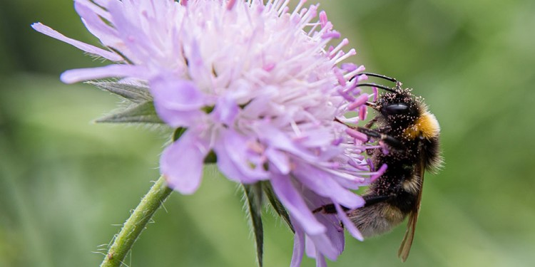 Earth bumblebee covered with pollen from field scabious.<address>© WWU - Peter Leßmann</address>